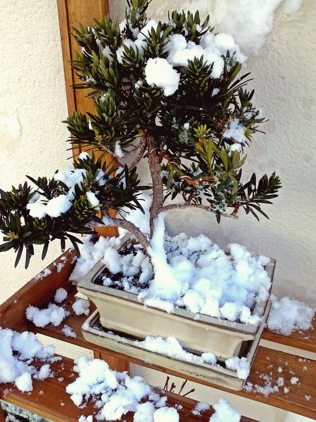 El invierno se acerca. Winther Is Coming Bonsai Bonsai In Training