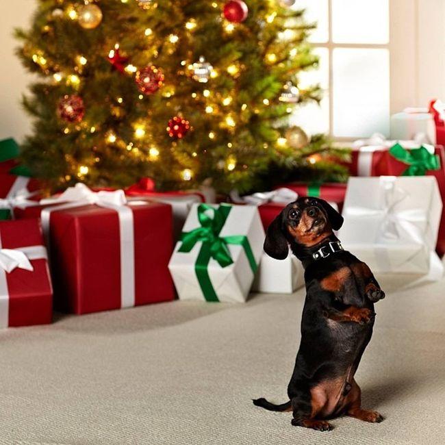 With Happy New Year, Dear Dachshunds! Life Is Goooood & Tasty!!! ;) Best Regards, Mr. Harry!