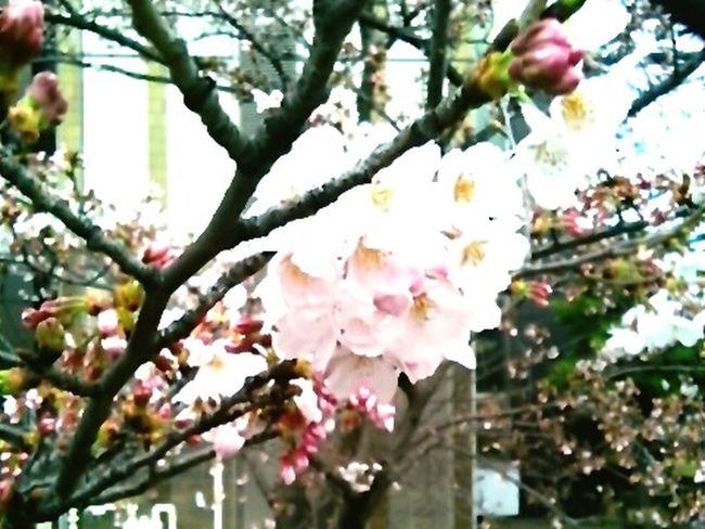 Beautiful Day Cherry Blossom Leaf Cherry Blossoms Cherry Tree Beautiful View Cherry Tree Flower Japanese Spring Blossom