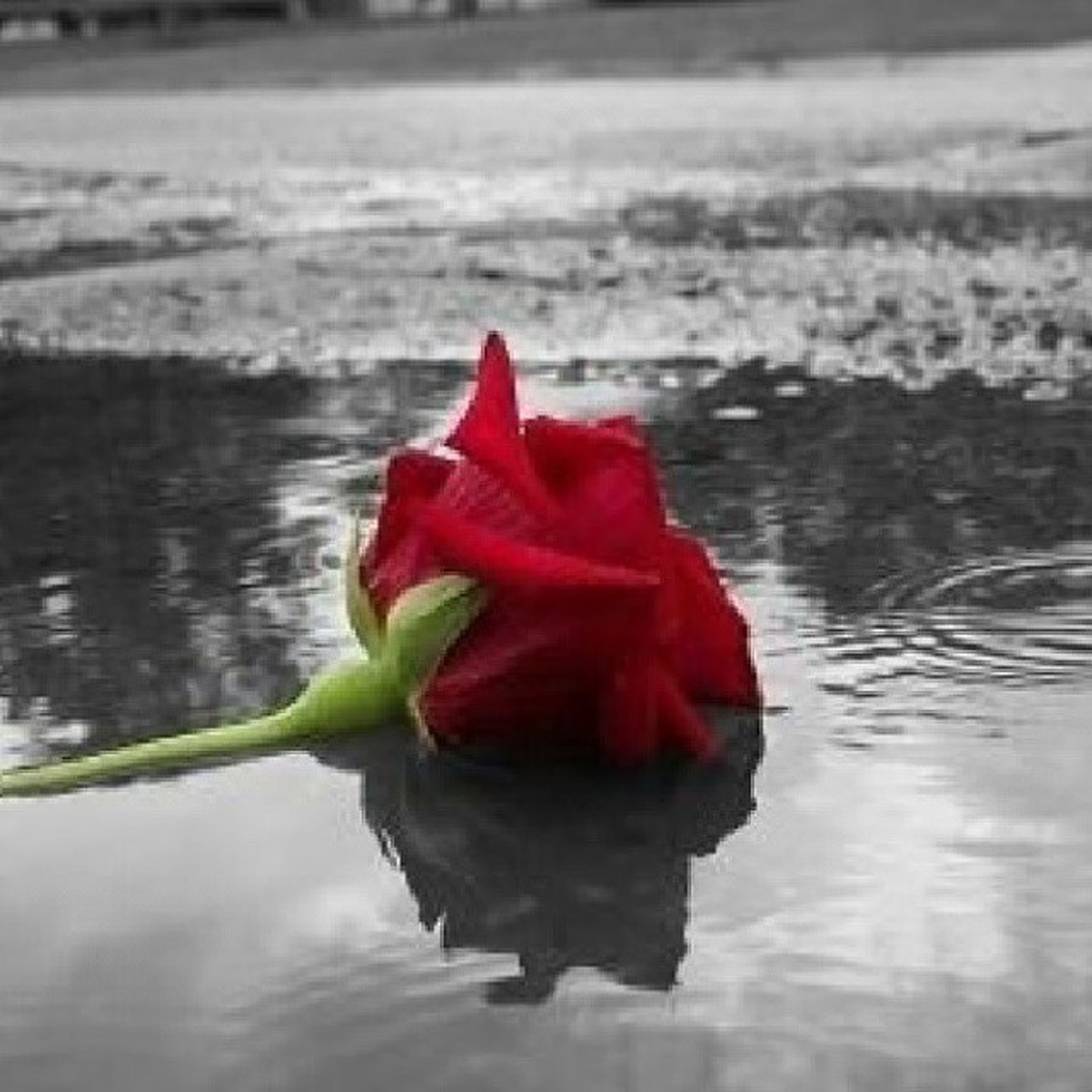 water, red, flower, petal, beauty in nature, freshness, single flower, flower head, nature, fragility, waterfront, reflection, rippled, focus on foreground, lake, close-up, sea, tranquility, rose - flower, outdoors