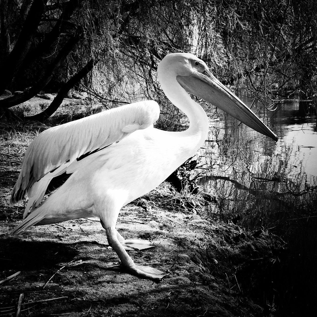 pelican in contrast Blackandwhite Tadaa Community EyeEm Nature Lover Birds