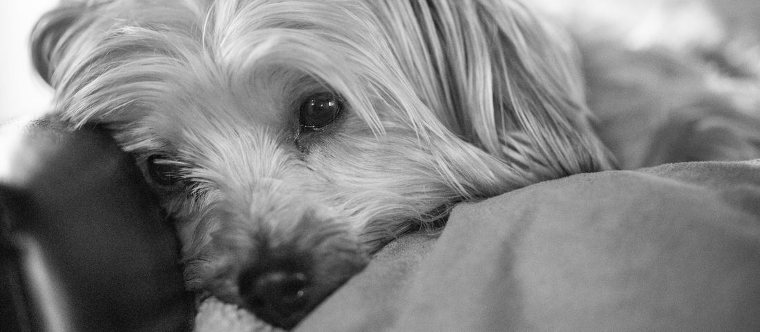 Comfort of pets Home Animal Themes Best Friend Day Dog Domestic Animals Indoors  Maltese Mammal Pets Yorkie EyeEmNewHere Black And White Friday