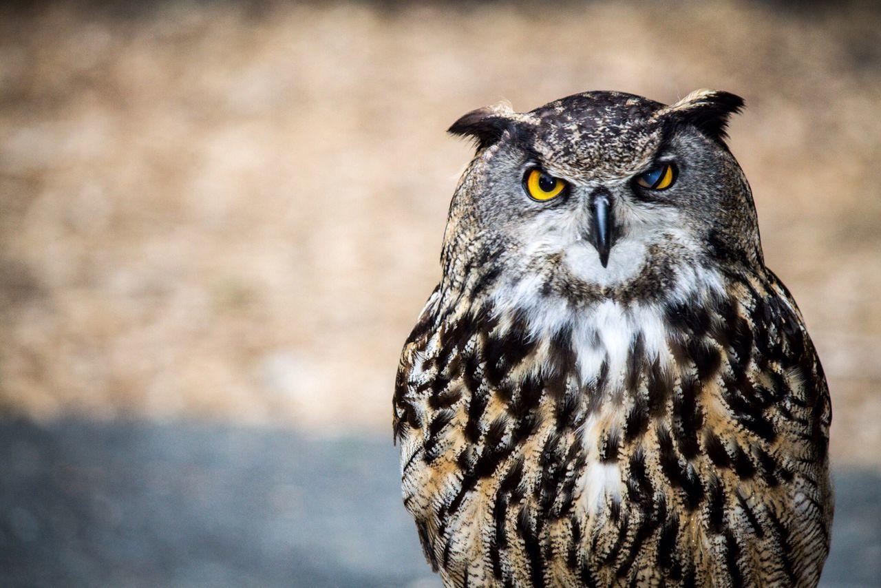 Beautiful stock photos of owl, Animal Body Part, Animals Hunting, Beak, Bird