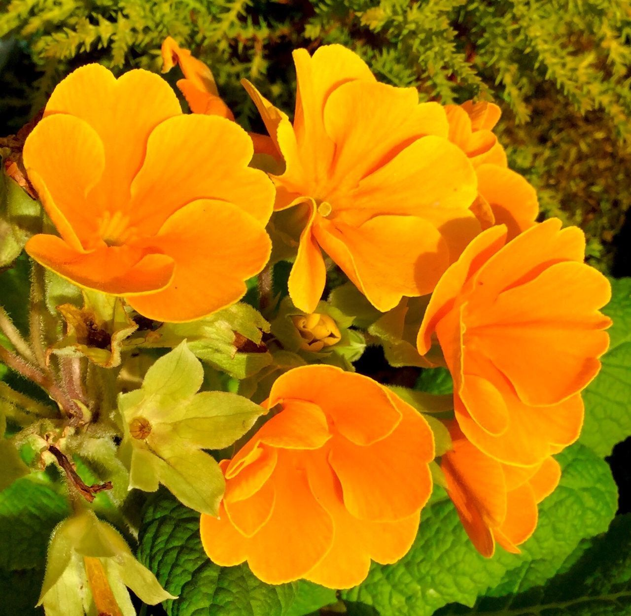 Garden Photography Primrose Plants Plants And Flowers