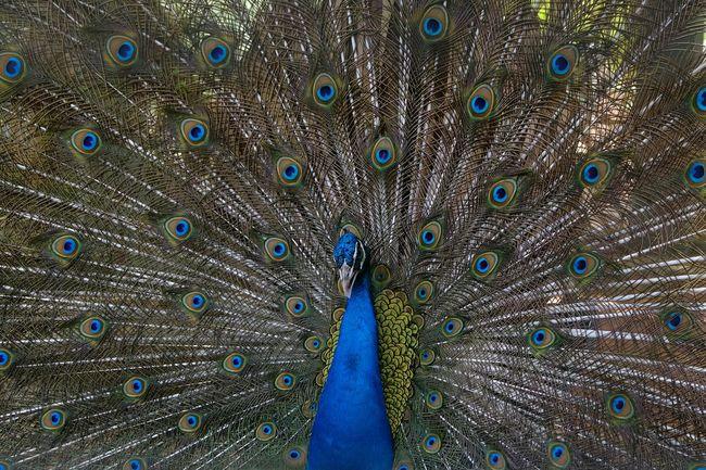 Peacock Showcase April Birds_collection Birds Of EyeEm  Bird Photography Peacock Peacock Blue Beautiful Colors Beauty Bird Beauty