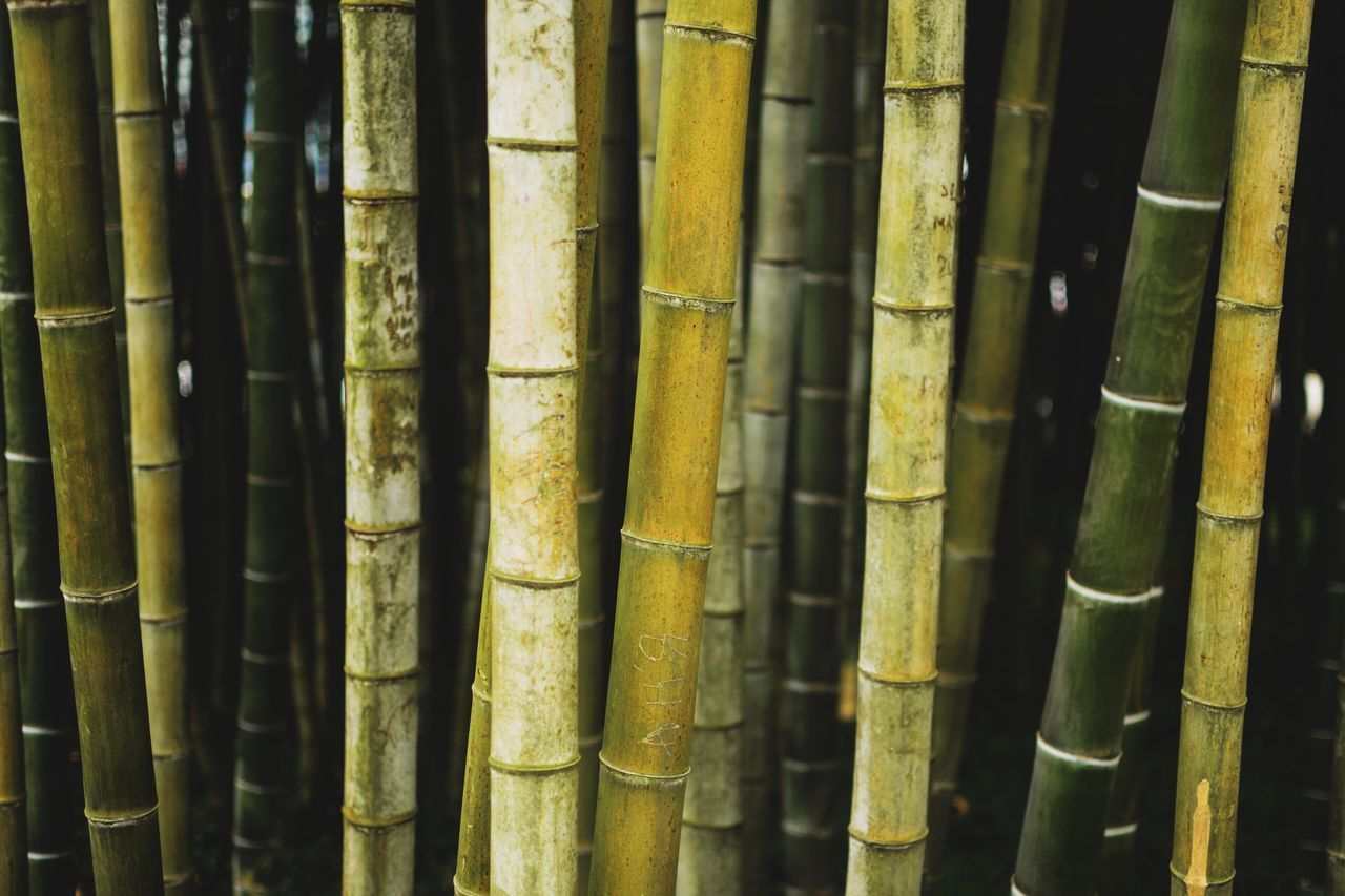 bamboo - plant, bamboo grove, bamboo, no people, backgrounds, forest, day, bamboo - material, close-up, full frame, nature, outdoors