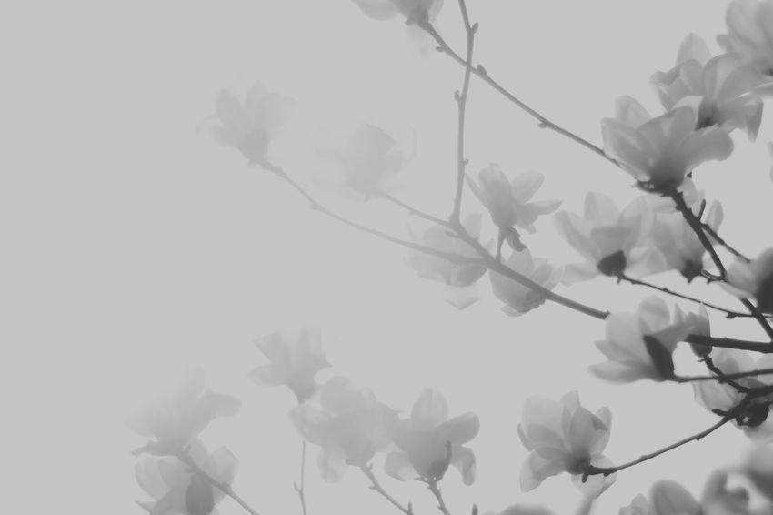 Magnolia Spring Flowers Magnolia_Blossom Flower Flowers Magnolia Flower Blackandwhite Black And White Monochrome Black & White Black&white