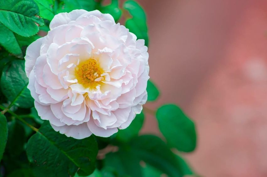 Pink Flower Off Center Flower Petal Flower Head Plant Fragility Nature Growth Leaf Close-up Beauty In Nature No People Focus On Foreground Freshness Day Green Color Outdoors Blooming