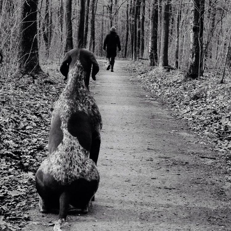German Shorthaired Pointer Tiras Germanshorthairedpointer Dogs Huntingdog The Netherlands