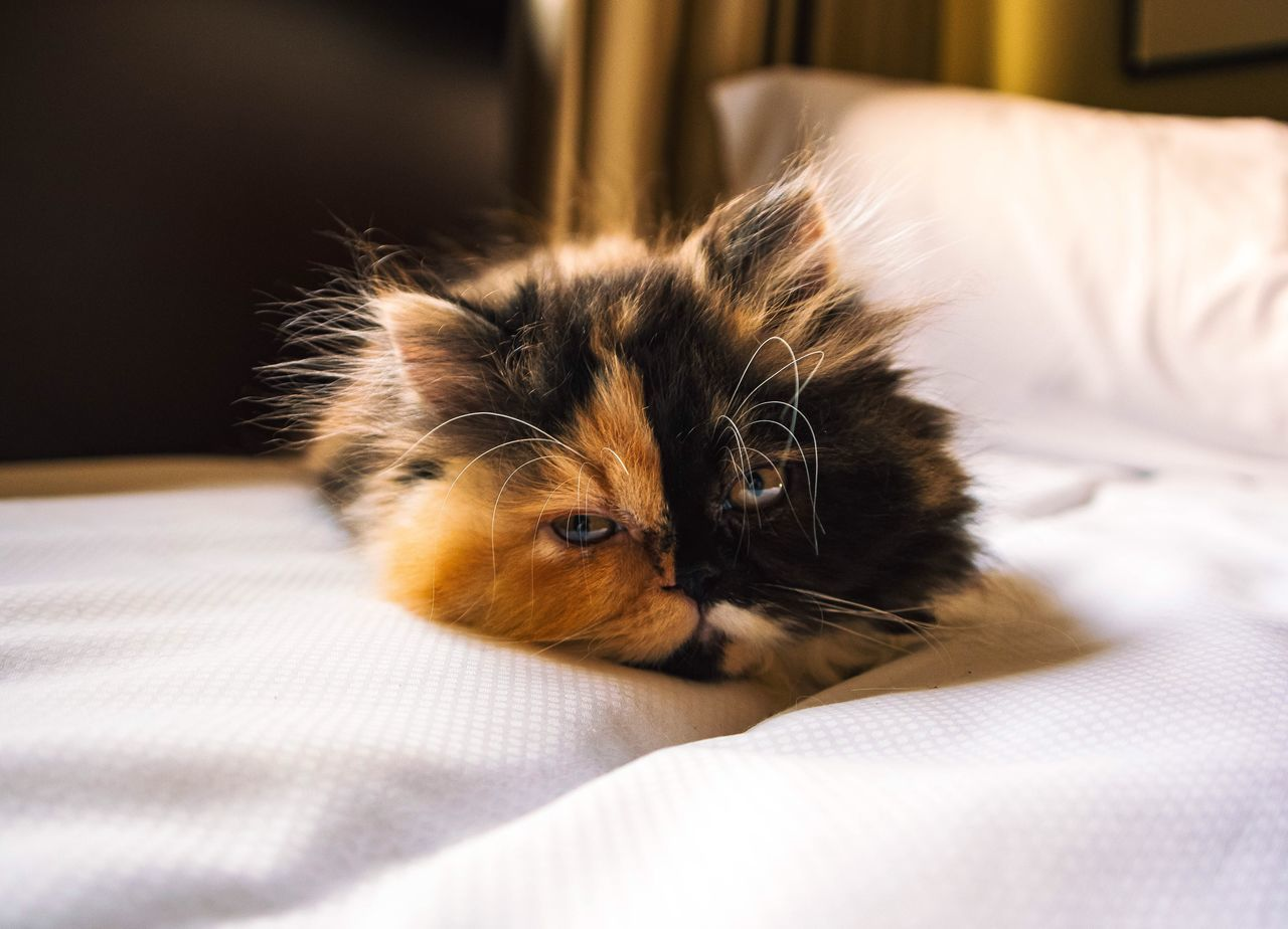 One Animal Animal Themes Pets Domestic Animals Domestic Cat Mammal Looking At Camera Portrait Indoors  Relaxation No People Whisker Bed Home Interior Feline Close-up Day