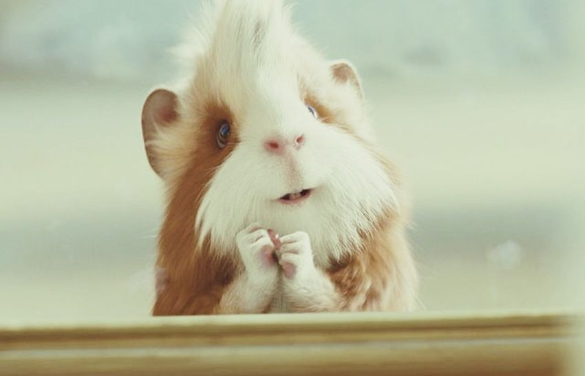Cuyos Cuyo Animal Love Playing With The Animals Anime Animal Animals Hola! Rawr! Love♥