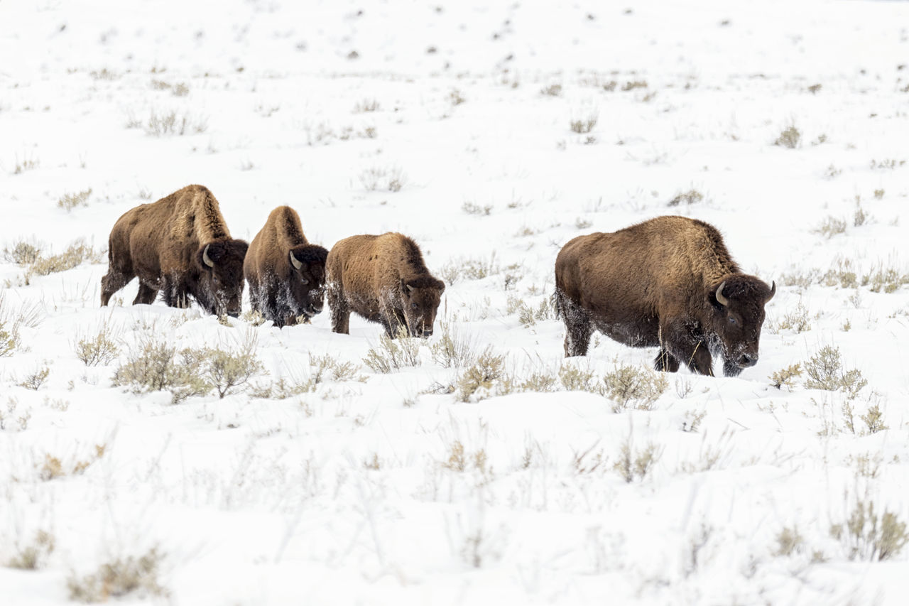 Animal Themes Animal Wildlife Animals In The Wild Beauty In Nature Bison Bison Group Cold Temperature LINE Mammal Nature No People Row Snow Wild Wildlife Winter