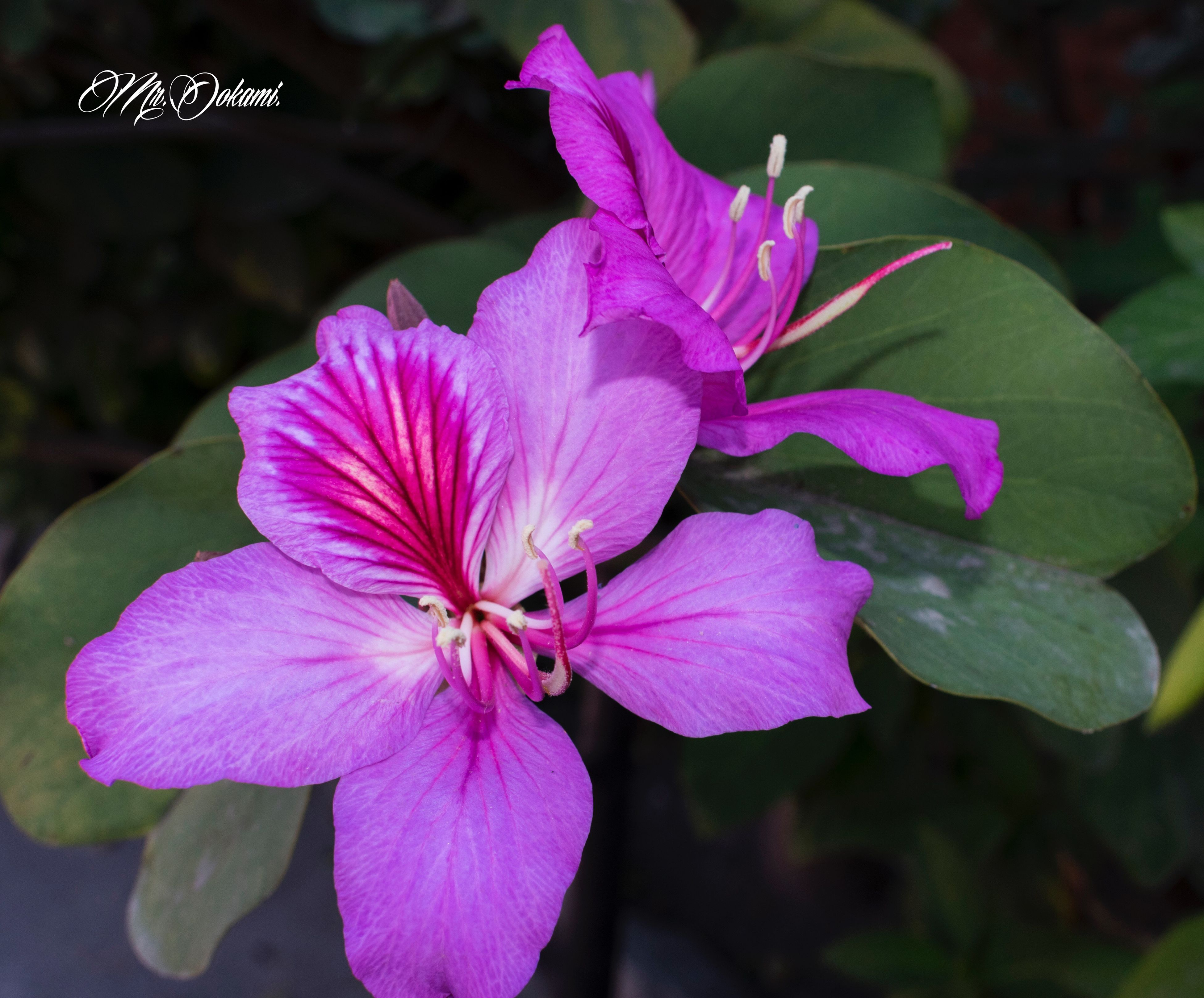 flower, beauty in nature, nature, freshness, fragility, petal, flower head, growth, pink color, close-up, focus on foreground, blooming, purple, plant, outdoors, no people, pollen, day, rhododendron, passion flower