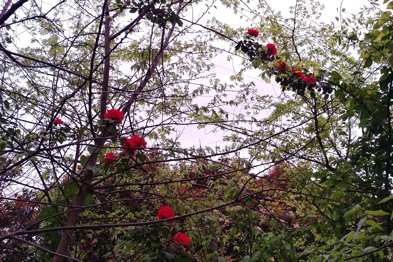 Tree Nature Growth Low Angle View Beauty In Nature Branch No People Outdoors Sky Day Roses Flowers  Red Flowers Rosé