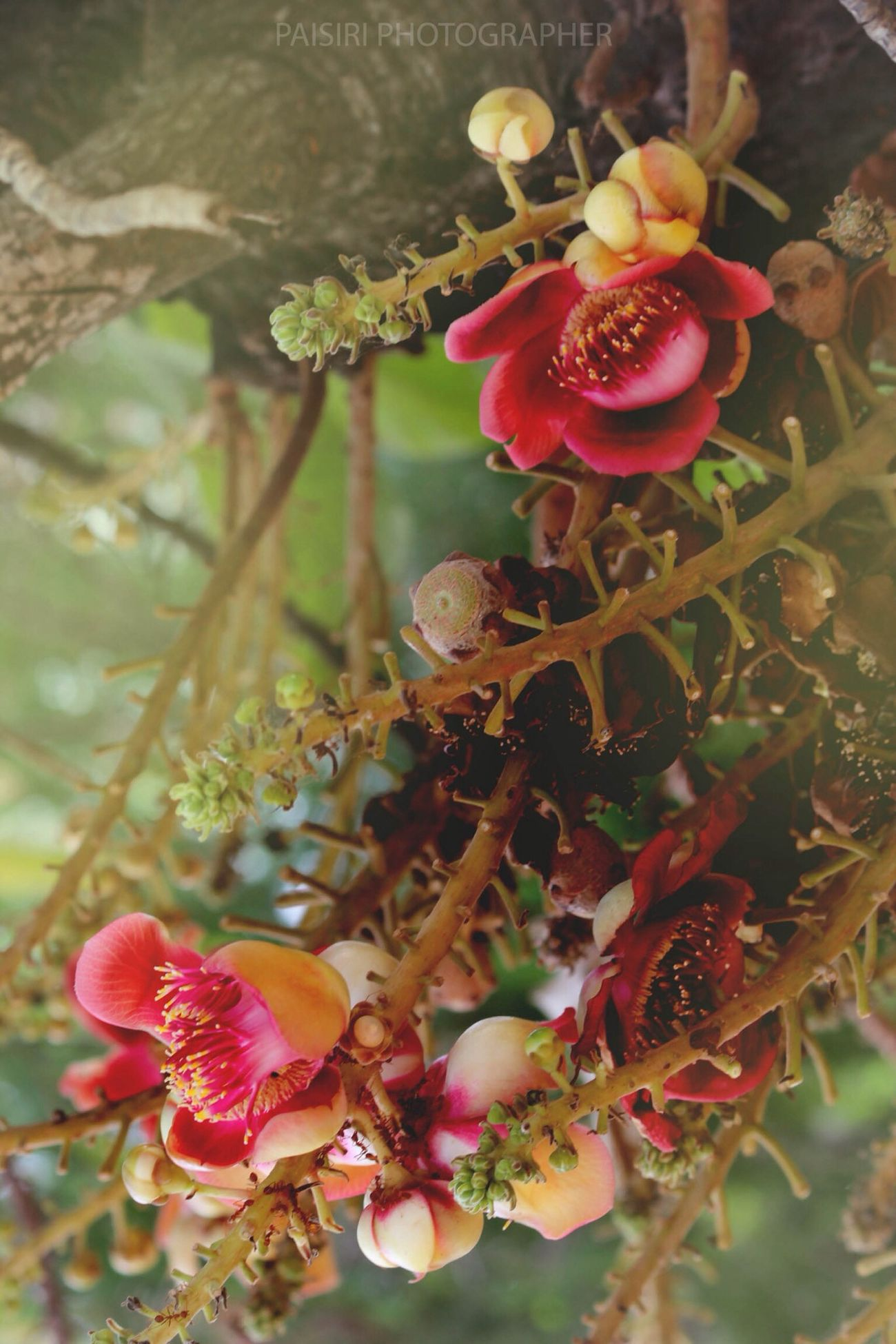 Couroupita Guianensis Tree Frowers Nature