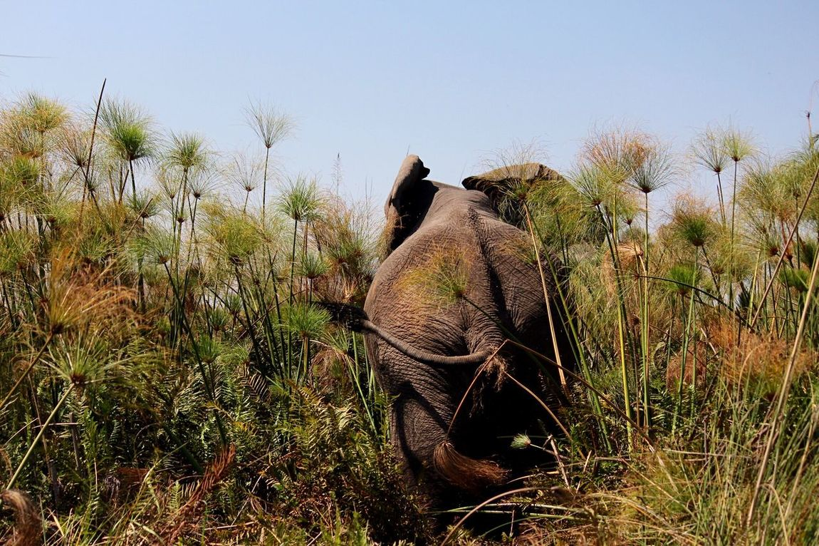 Elephant Grass Papyrus Clear Sky Nature Animal Themes Animals In The Wild Outdoors Okavango Delta Botswana Africa Abroad EyeEm Nature Lover Eyeem Best Shots - Animals African Elephant EyeEmNewHere
