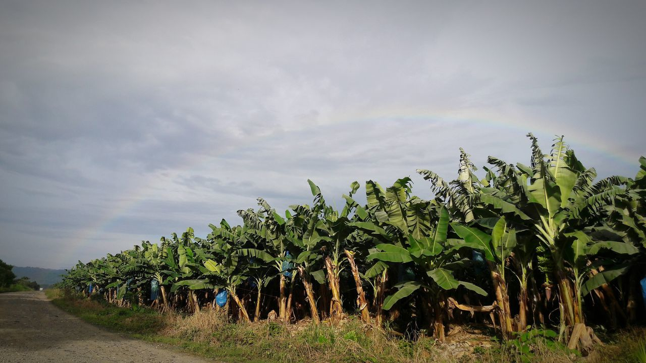 Promesa Dios Arcoiris Rainbow Banana Farm Beauty In Nature Plant Countryside Landscape Tranquility Tree Road Tranquil Scene Growth Solitude Rural Scene Sky Green Non-urban Scene Nature Day Remote Farm Cloud