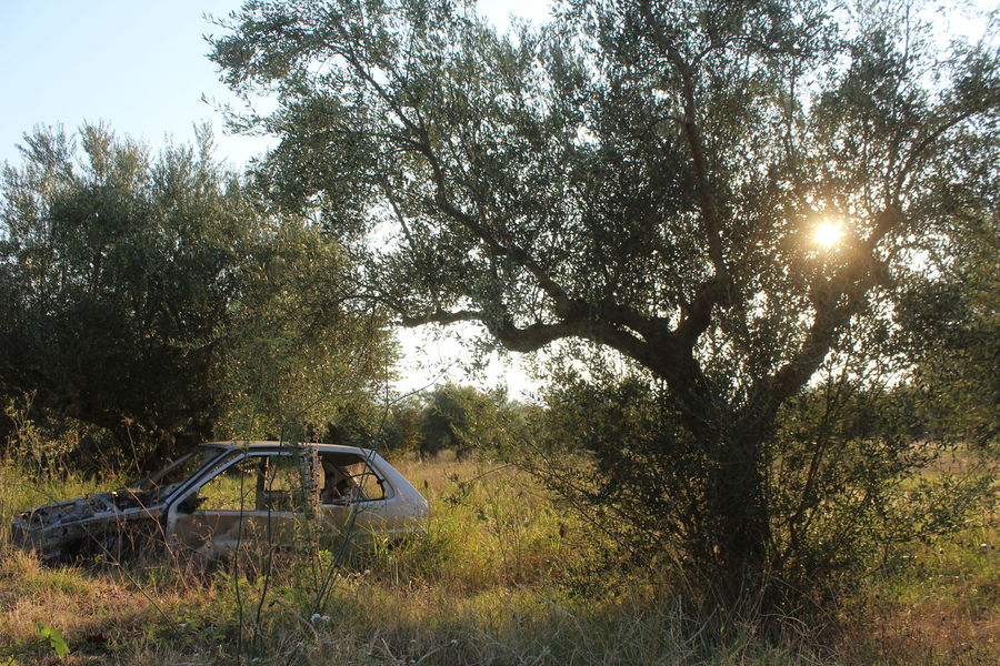 Abandoned Beauty In Nature Nature Olive Tree Outdoors Special Light Surreal Tree
