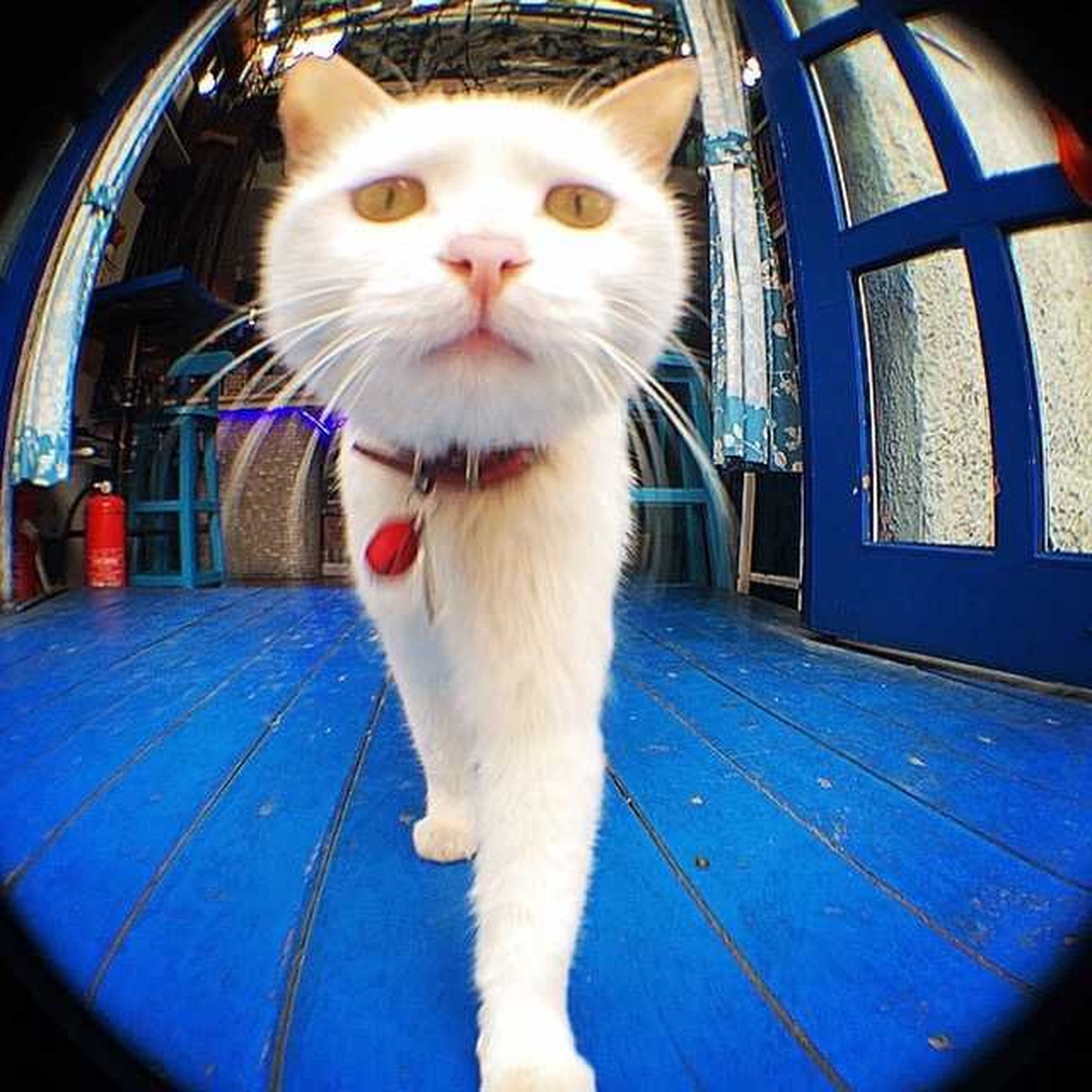 one animal, pets, animal themes, domestic animals, portrait, looking at camera, domestic cat, mammal, cat, whisker, front view, feline, animal head, indoors, sitting, close-up, staring, white color, alertness, no people