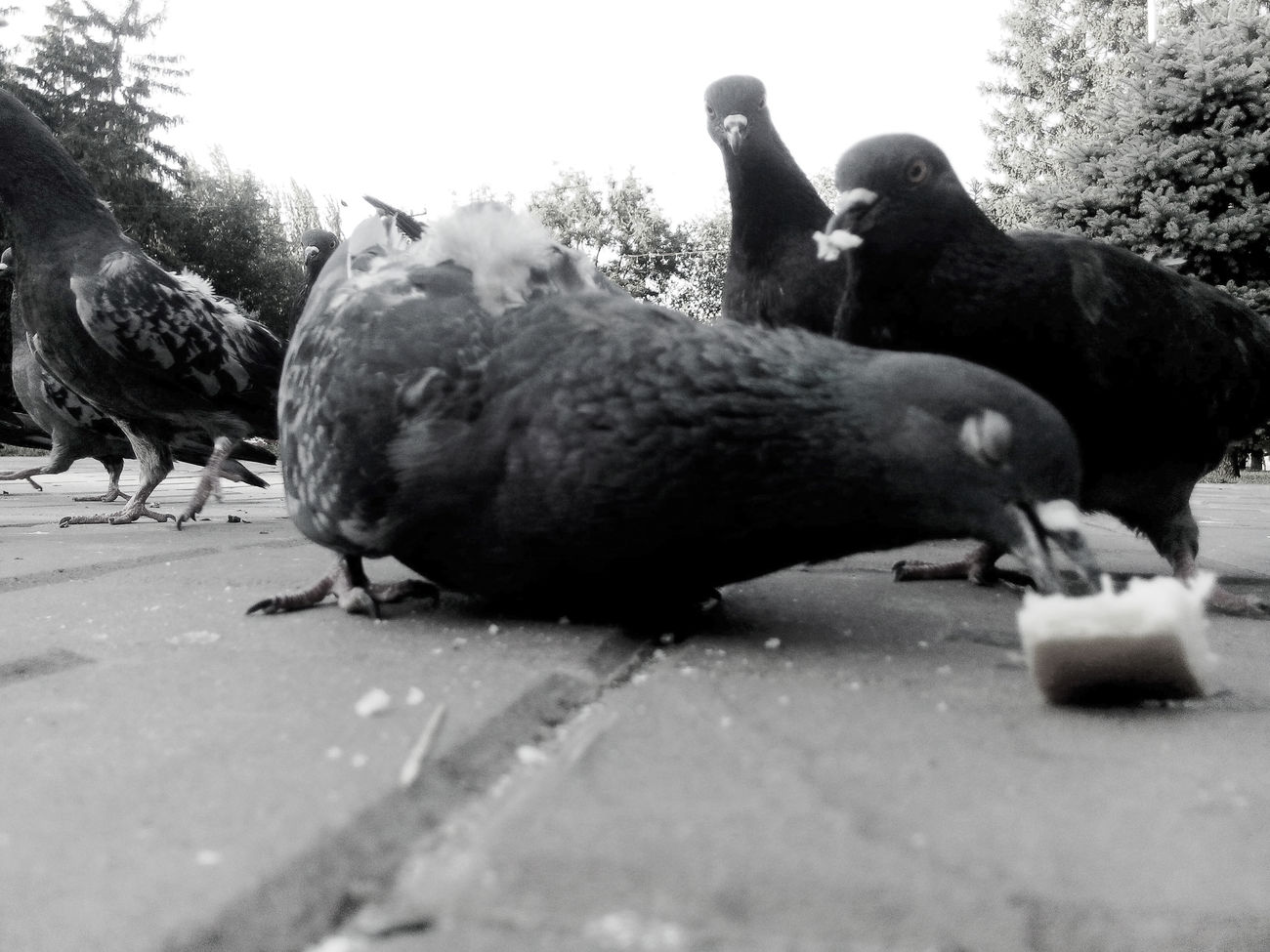 Animal Themes Bird Day Outdoors Pigeons Square голуби город птицы площадь Close-up Rostov-on-Don No People Animal City Black And White Photography Monocrome