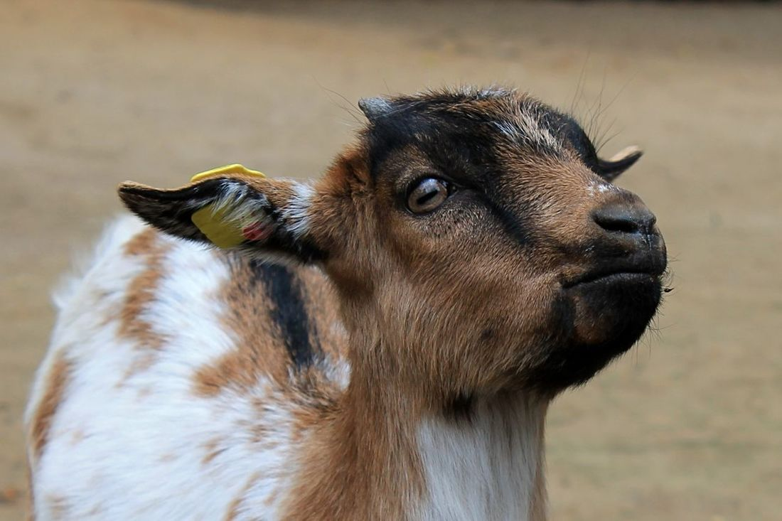 Baby Goat Goat Goatee Goats Babygoat Babygoats Baby Goats Snout Animal Head  Up Close Wildpark Schwarze Berge Wildpark Animal Portrait Animal Photography Spout Muzzle Wildparkschwarzeberge Animals Posing Close Up Baby Animals Baby Animal Cute Baby Animals