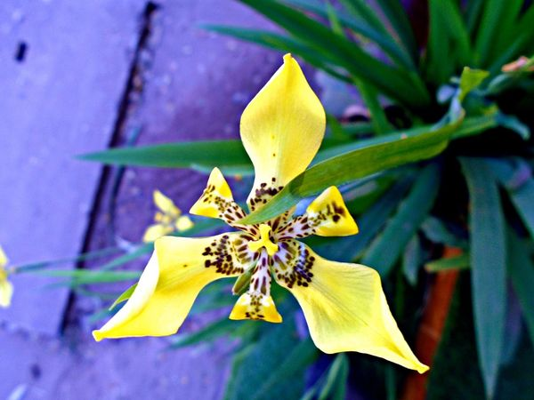 Flowers,Plants & Garden Yellow Flower Beauty In Nature Blooming Close-up Day Flower Flower Head Flowers Fragility Freshness Growth Leaf Nature No People Outdoors Petal Plant Star Flower Yellow