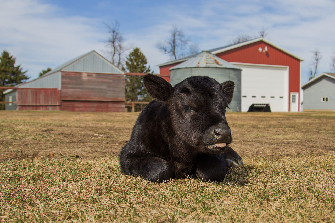 Agriculture Animal Black Black Angus Building Built Structure Calf Canon60d Canonphotography Cattle Clouds Day Domestic Animals Farm Grain Bin Grass Laying Livestock Outdoors Sky Spring Tree Young