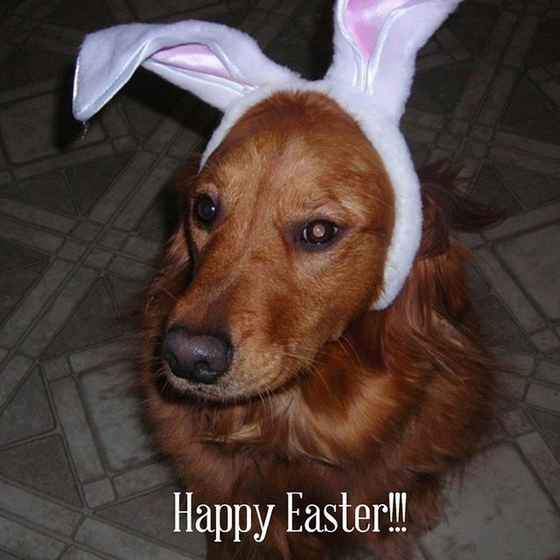 "Daisy says ""Happy Easter Everyone"" Believe Faith Trust Everythingisgoingtobok Cottontail Dogsrule Jacksayschillandcountyourblessings Miracleshappen"