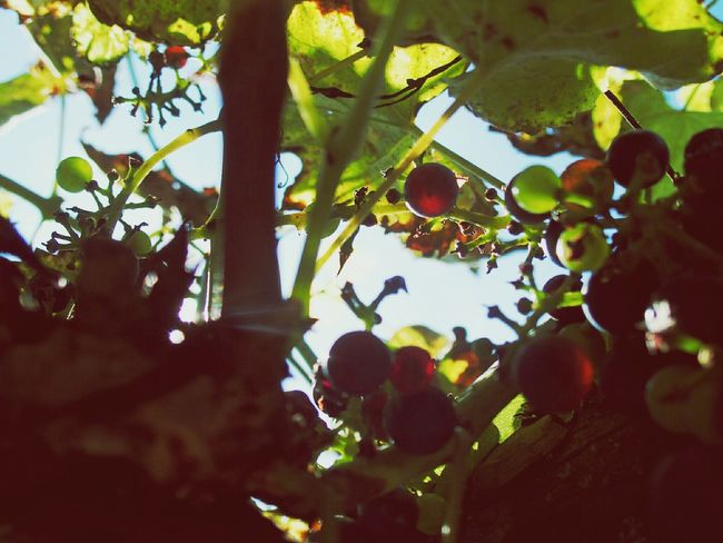 Late Summer . Vines . Look Up