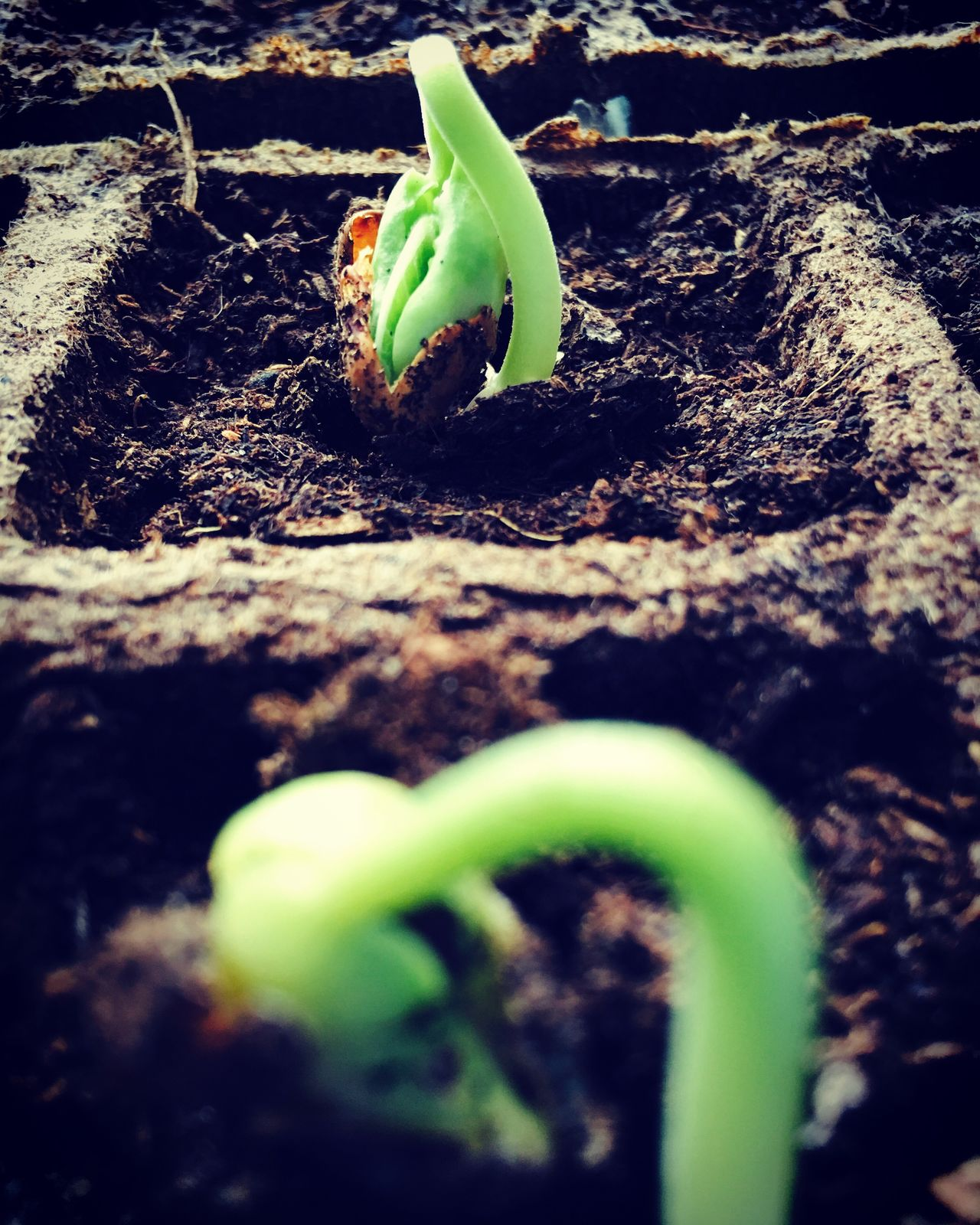 Growth New Life Nature Plant Day Fragility Green Color No People Ground Close-up Beginnings EyeEm Nature Lover Freshness Bean Sprouts Bean Garden Macro Photography Macro_collection EyeEm Best Shots Spring Gardening Urban Garden Natural Light