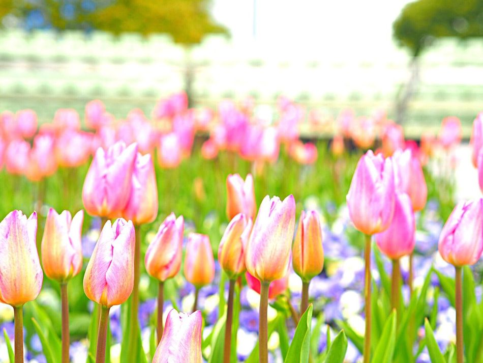 Flower Fragility Beauty In Nature Nature Freshness Flower Head Plant Growth Focus On Foreground Pink Color Tulip チューリップ Blooming Roppongihills Roppongi 六本木ヒルズ Japan Photography Japanese Landscape Tokyo,Japan Springtime Blossom Olympus Om-d E-m10