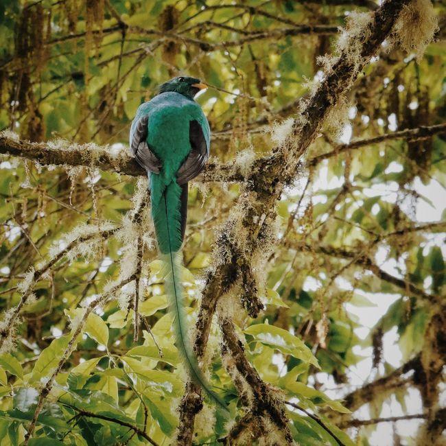 Resplendent Quetzal Nature Birds Wildlife Wildlife & Nature Quetzal Costa Rica Vscocam