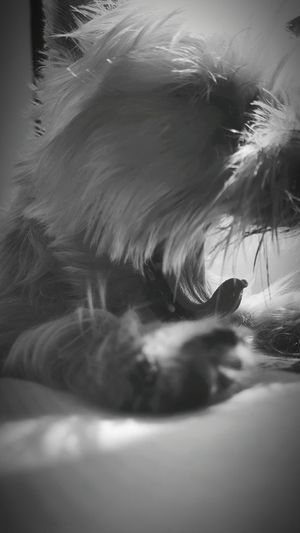 Ocha Yorkshire Terrier Yorkie Nap Mouth Playful Dog Puppy Light And Shadow Black & White