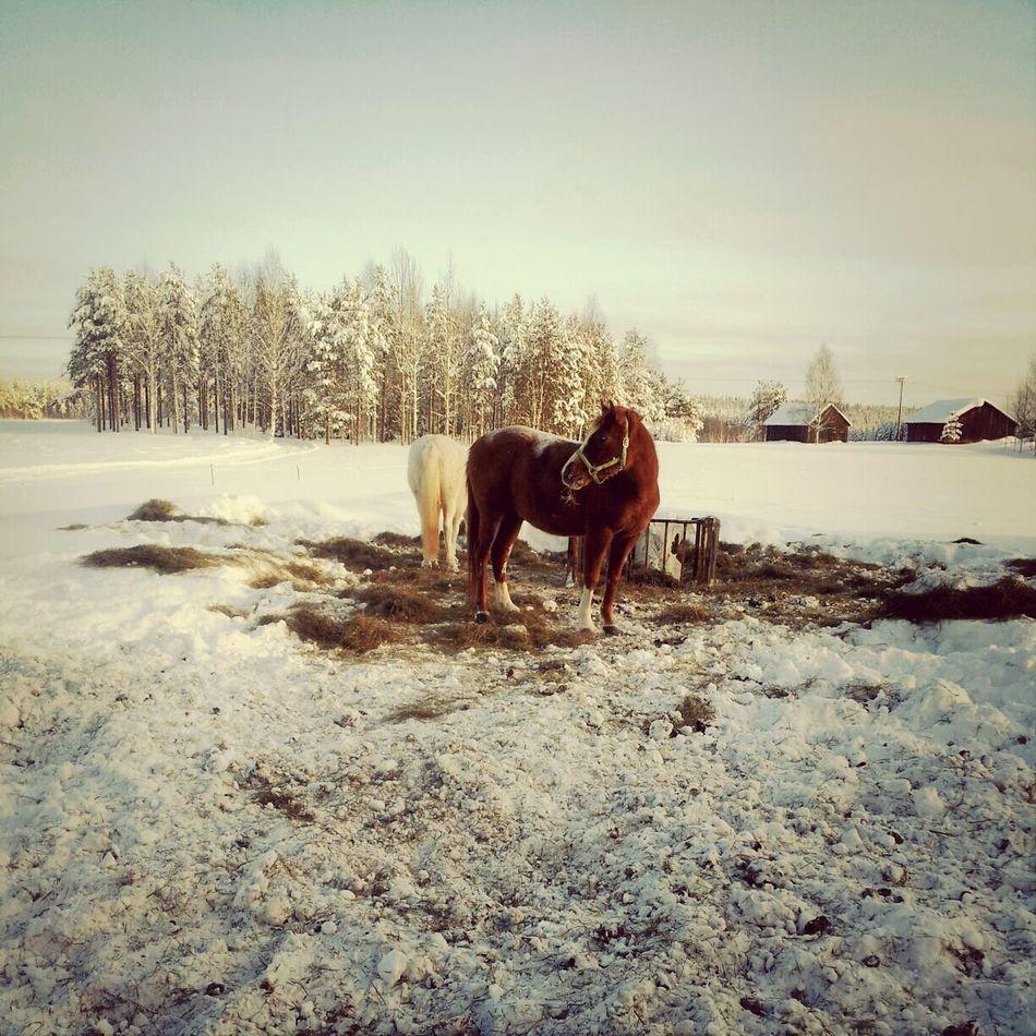 Horses Arabian Horse
