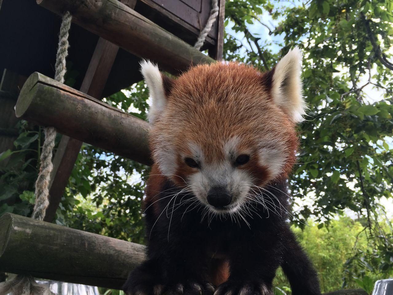 Close Up! Animal Themes Animals In The Wild Day Mammal No People One Animal Outdoors Panda Panda - Animal Portrait Red Panda Red Panda Tree