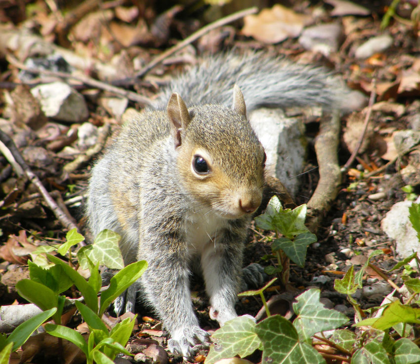 Animal Themes Animals In The Wild Baby Squirrel Close-up Day Gray Squirrel Grey Squirrel Leaf Mammal Nature Nature Nature On Your Doorstep Nature Photography No People One Animal Outdoors Squirrel