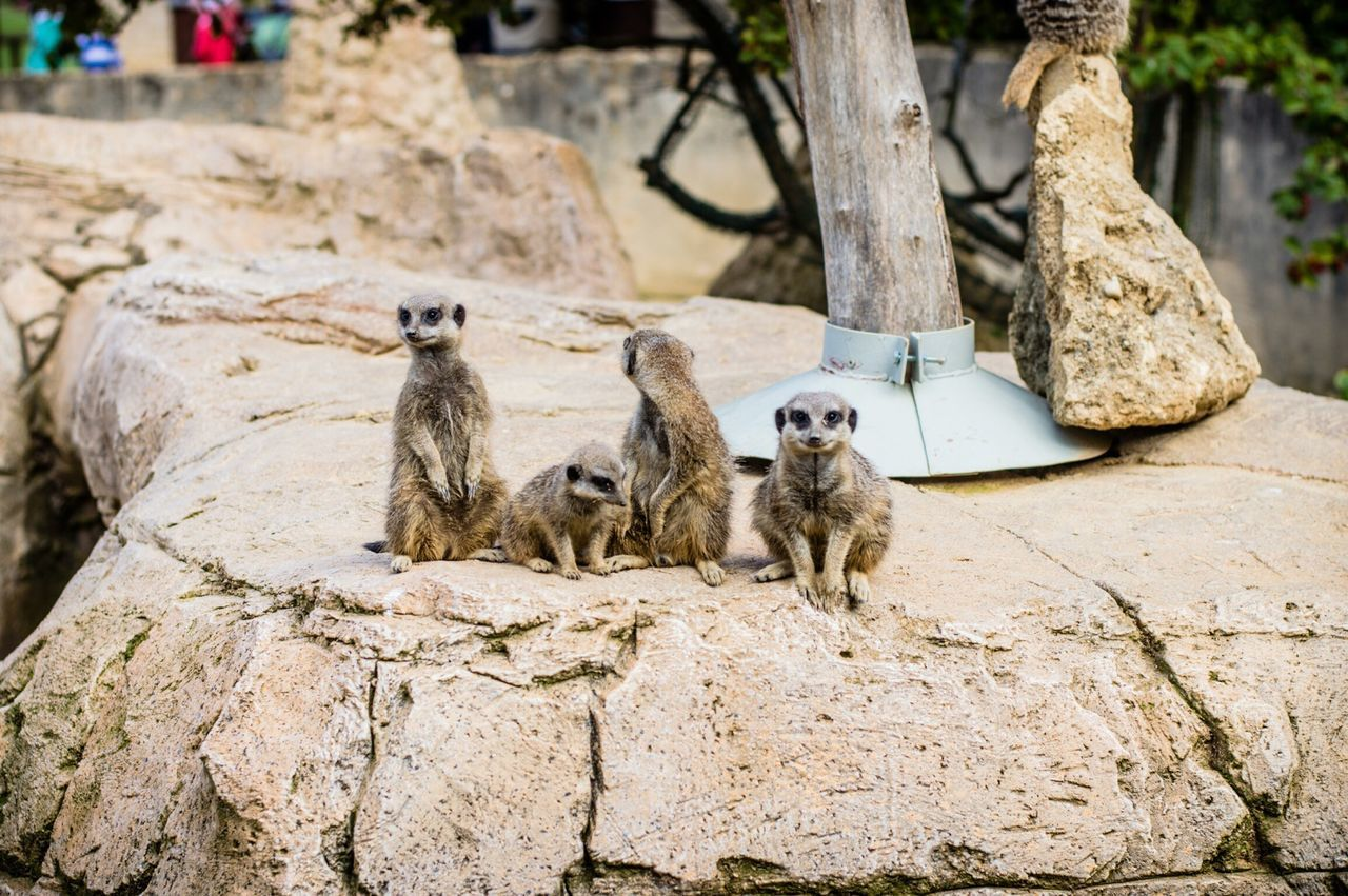 animal themes, animals in the wild, animal wildlife, mammal, day, outdoors, rock - object, no people, nature, meerkat, tree trunk, monkey, sitting, tree, baboon