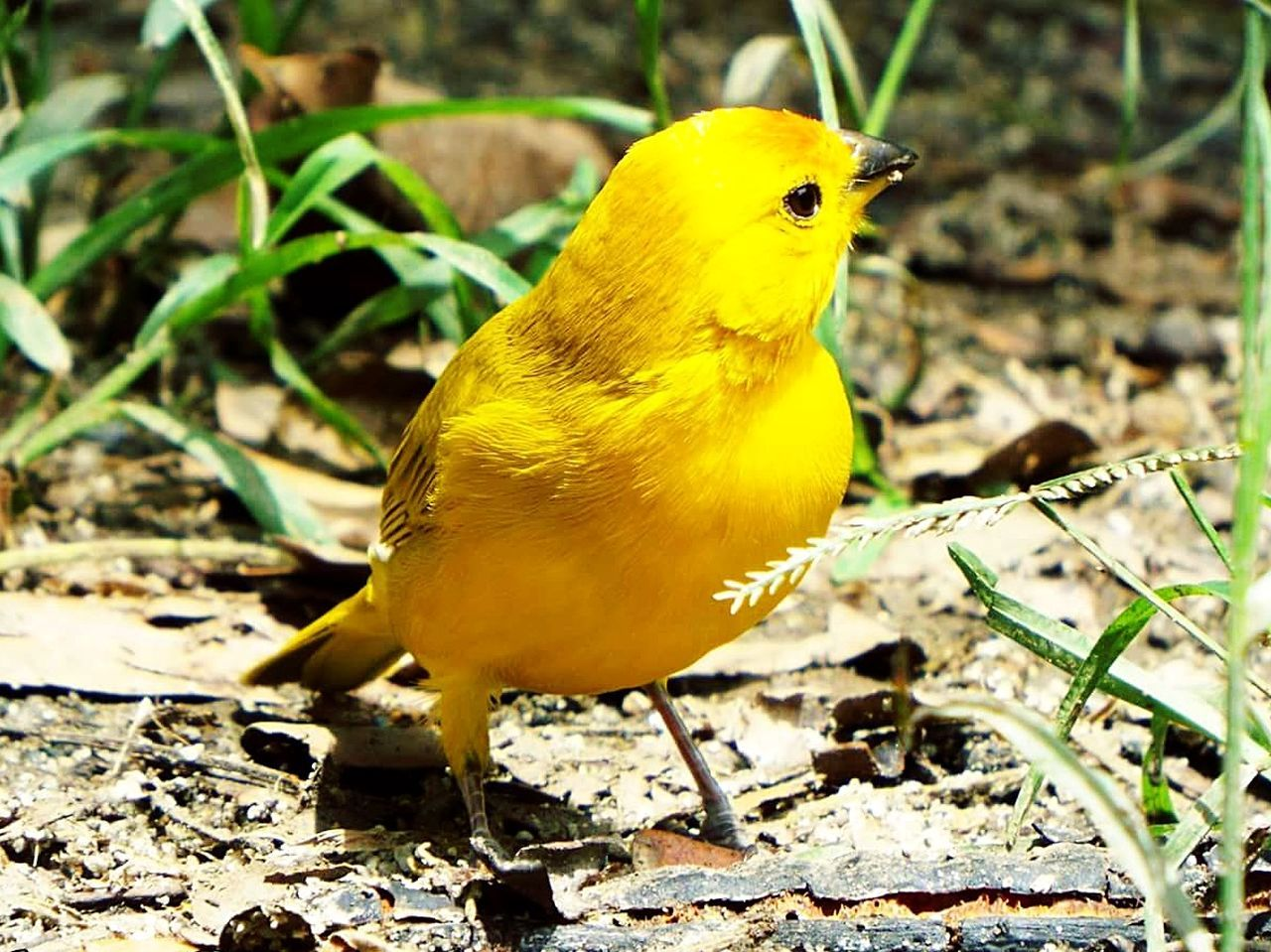 Bird One Animal Animal Wildlife Yellow Animal Themes Animals In The Wild Outdoors No People Full Length Nature Close-up Day Beauty In Nature Animals In The Wild Rural Scene Scenics Nature Beauty In Nature Landscape Arts Culture And Entertainment