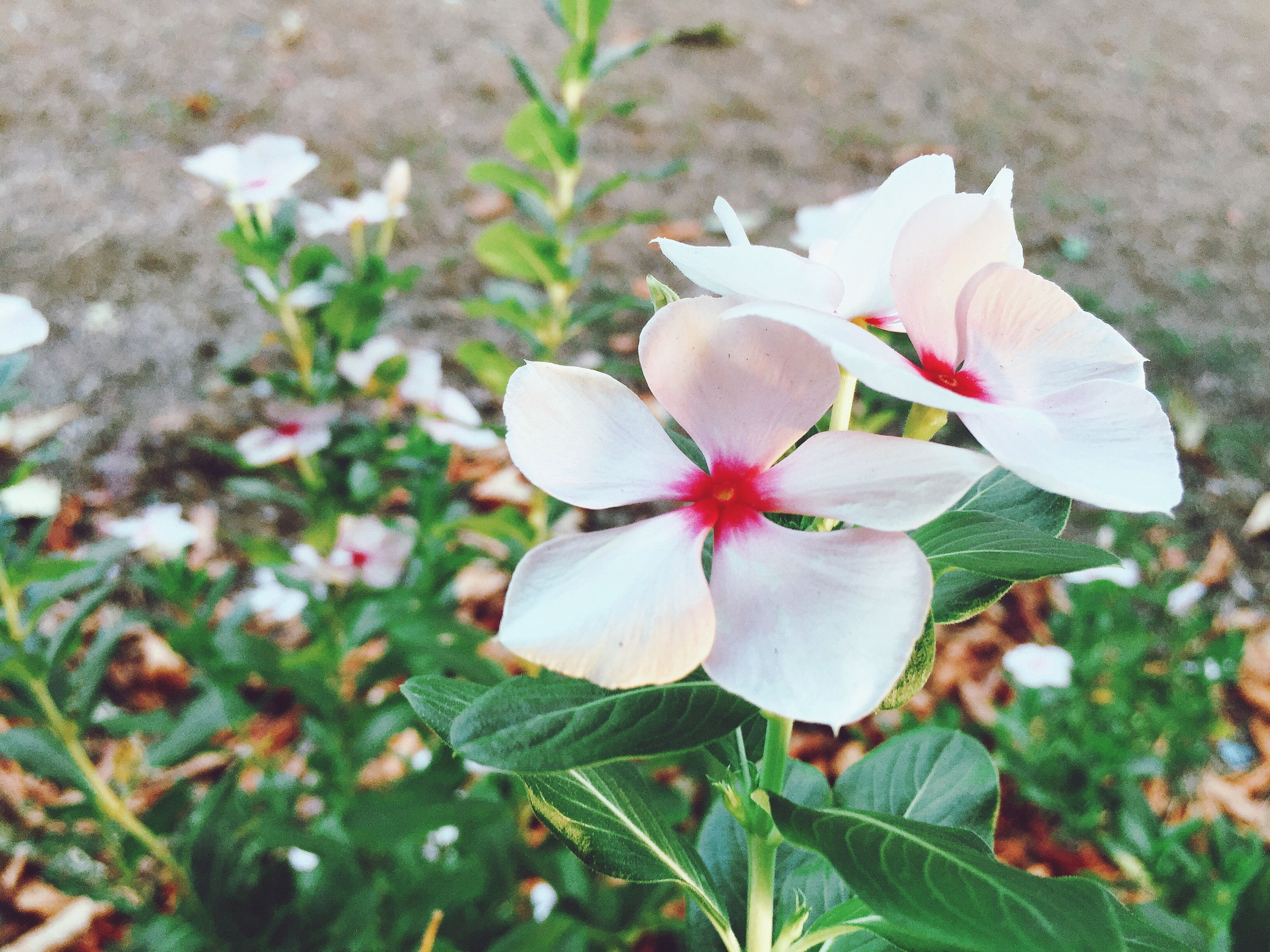 flower, petal, freshness, fragility, flower head, growth, beauty in nature, blooming, white color, nature, close-up, pollen, stamen, high angle view, plant, in bloom, focus on foreground, leaf, field, single flower