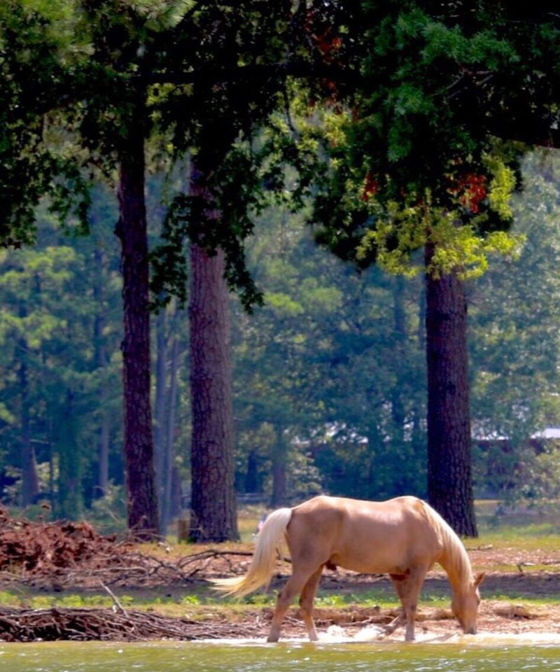 Wild Horses Tree Domestic Animals Animal Themes Nature No People Tree Trunk Day Mammal Standing Outdoors One Animal Full Length Lakeshore Horses No Saddle Free Wild Drinking Beauty In Nature Peace And Quiet The Great Outdoors - 2017 EyeEm Awards