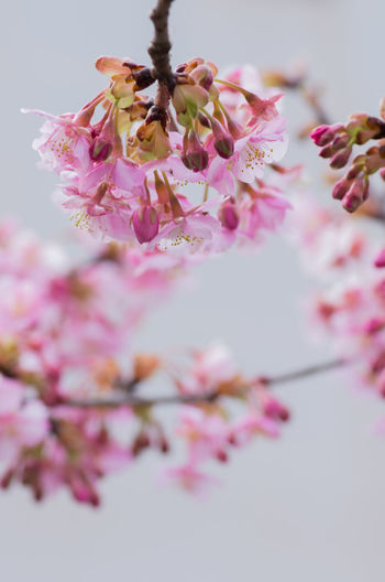 Apple Blossom Apple Tree Beauty In Nature Blossom Botany Branch Cherry Blossom Cherry Tree Close-up Flower Flower Head Fragility Freshness Growth Nature No People Orchard Petal Pink Color Plum Blossom Selective Focus Springtime Stamen Tree Twig