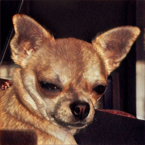 Whats going on? Animal Themes One Animal Domestic Animals Pets Close-up Dog No People Indoors  Portrait Pomeranian Day