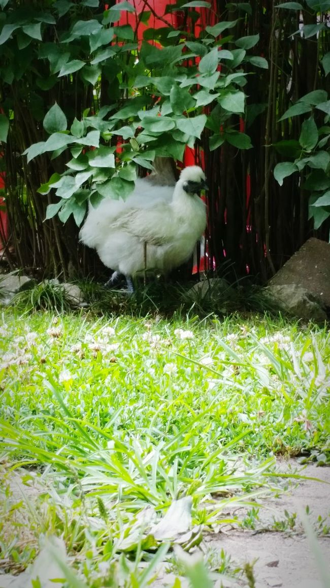 Country Living Countrylife Outside Outdoor Photography Pet Photography  Chickens >.< Chick Chicken - Bird Pet Chickens Baby Chick My Pet Chickens Chicken. Family❤ Country Life Country Girl