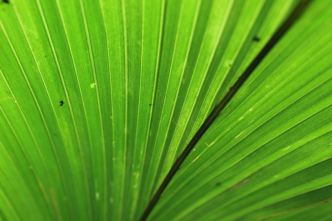 palm leaf, nature, palm tree, frond, leaf, green color, growth, close-up, freshness, backgrounds, day, no people, outdoors