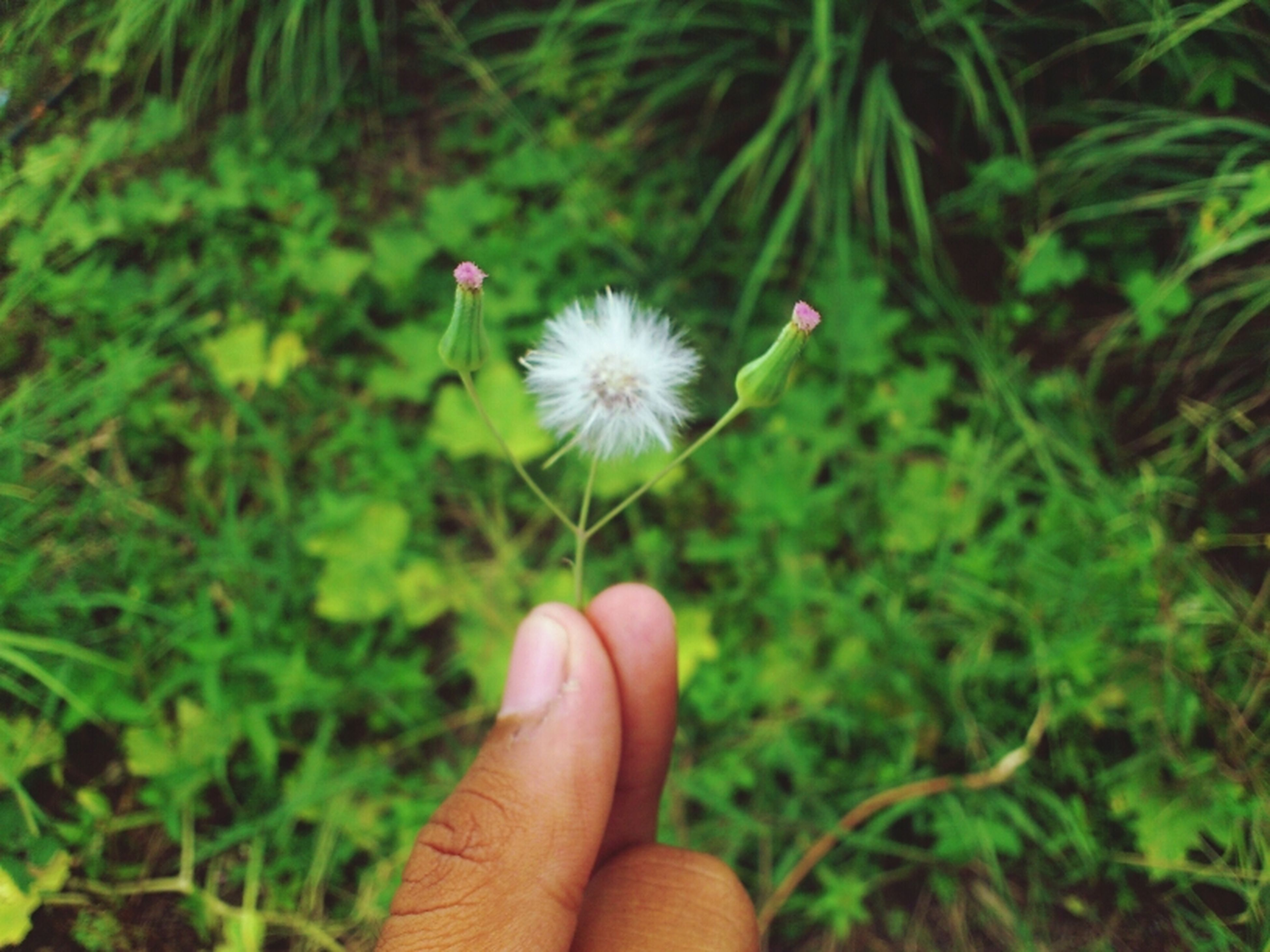 flower, person, holding, fragility, freshness, flower head, single flower, part of, dandelion, human finger, petal, daisy, unrecognizable person, cropped, growth, white color, beauty in nature