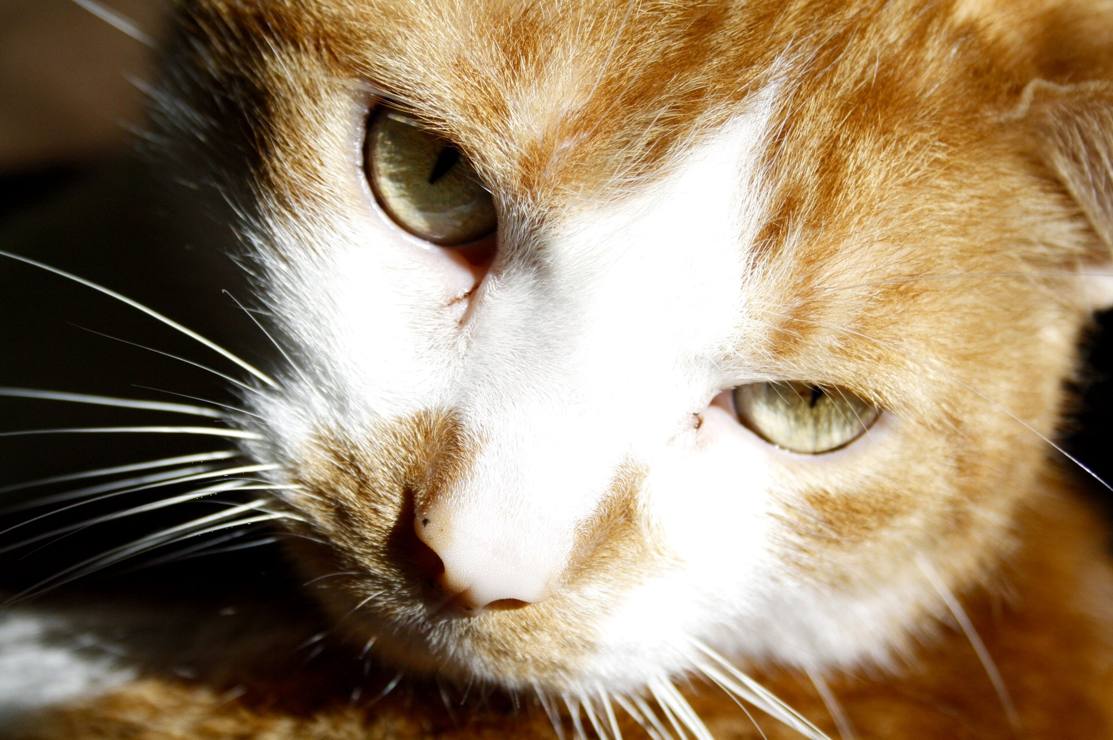 one animal, pets, animal themes, domestic animals, mammal, domestic cat, close-up, whisker, animal head, cat, animal eye, animal body part, feline, portrait, looking at camera, focus on foreground, indoors, snout, animal hair, staring