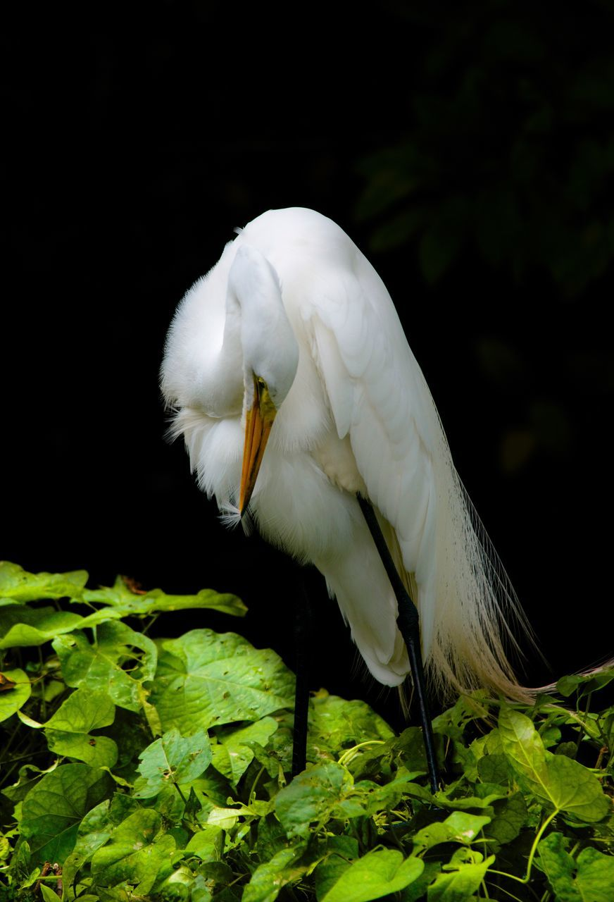 one animal, white color, bird, animals in the wild, animal themes, animal wildlife, green color, nature, outdoors, day, beak, no people, close-up, low angle view, great egret