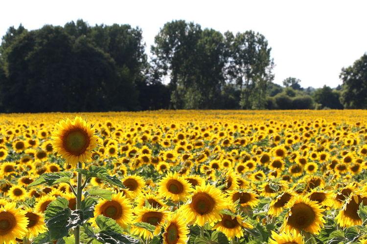 Sunflower 🌻 Flower Landscape Nature Outdoors Photography Summertime Sun Sunflower First Eyeem Photo
