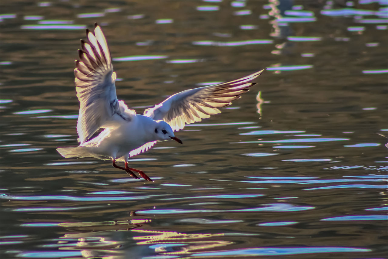 spread wings, bird, animal themes, flying, one animal, animals in the wild, motion, animal wildlife, day, flapping, nature, lake, no people, water, outdoors, beauty in nature, close-up