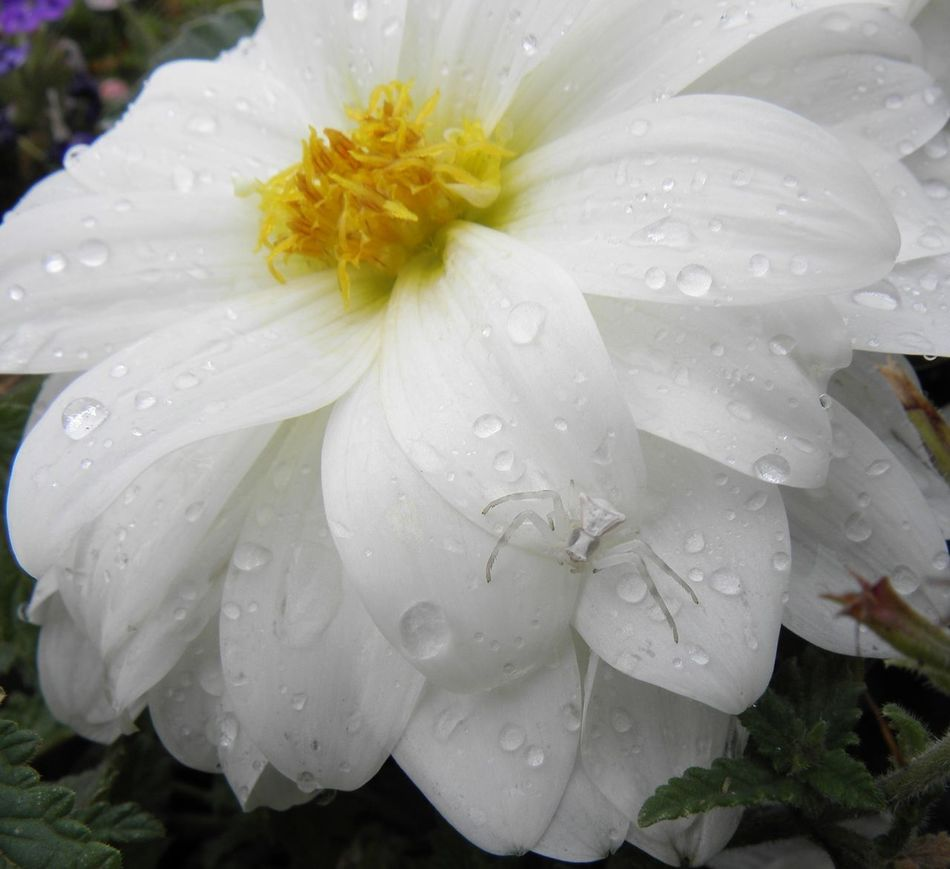 Wet Flower Drop Water Rain Nature Beauty In Nature Fragility No Filter Mimetism Dahlia White Crab Spider Macro Petal Flower Head Growth White Color RainDrop Purity Dew Weather Close-up Rainy Season Outdoors